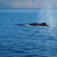 humpback whale off the coast of maui viewed from sail maui