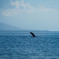 sail maui whale watch humpback whale pec fin